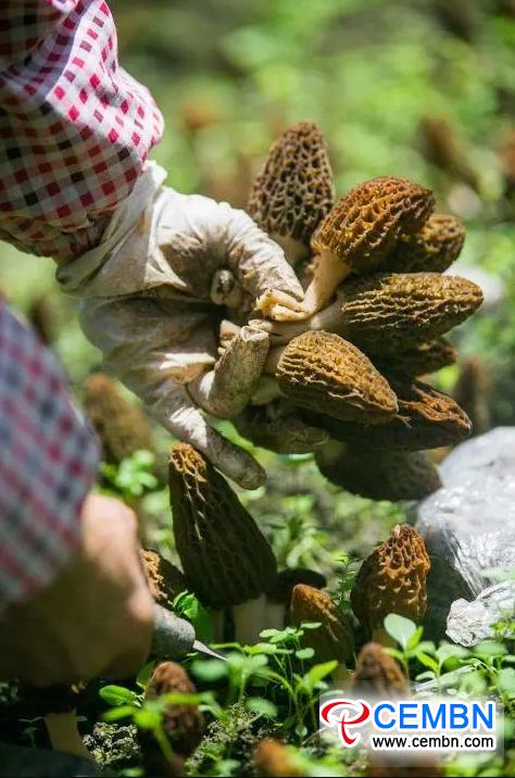 Valore di produzione annuale CEMBN La coltivazione della spugnola raggiunge i 4 milioni di dettagli CNY