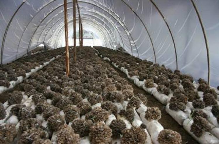 C'est le moment de la gestion des fruits de Grifola frondosa dans le comté de Qingyuan, province du Zhejiang