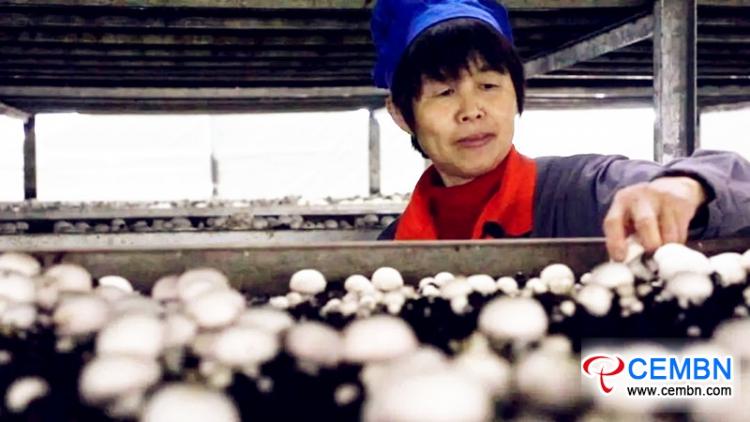 이 카운티에서 버섯 산업은 연간 660 억 XNUMX 천만 위안의 연간 생산 가치를 높입니다.
