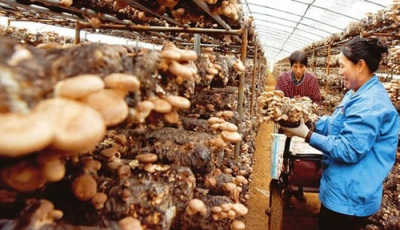 Mushroom growing broadens the prosperous path for farmers