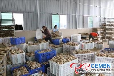 种植茶树菇(Agrocybe cylindracea)可能是一个很有前途的行业
