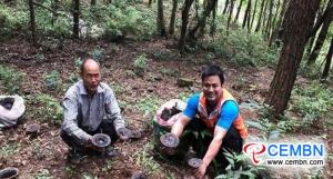 野生刺激的灵芝种植为种植者们开辟了一条富裕的道路