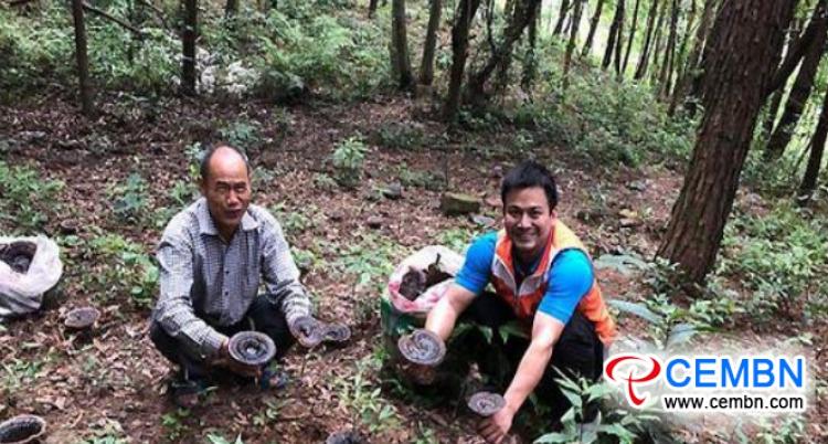 El cultivo de Ganoderma estimulado por la naturaleza ilumina un camino rico para los productores