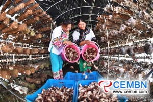 Shiitake mushroom farming broadens the road of prosperity