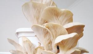 제로 웨이스트 이니셔티브는 맛있는 굴 버섯을 생산합니다
