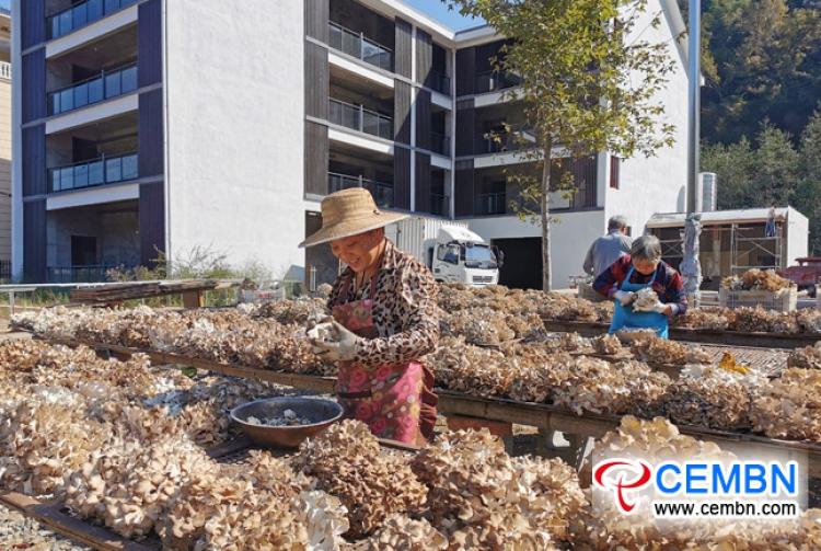 Сезон плодоношения Grifola frondosa освещает дорогу процветанию
