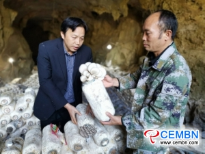 5000 mushroom sticks experimentally cultivated in karst cave boom
