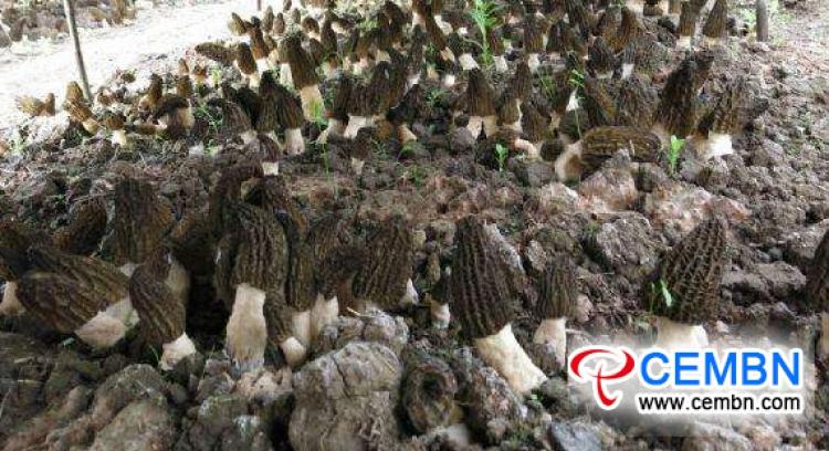 이른 봄에 Morels 재배의 성공을 보장하는 두 가지 핵심 요소