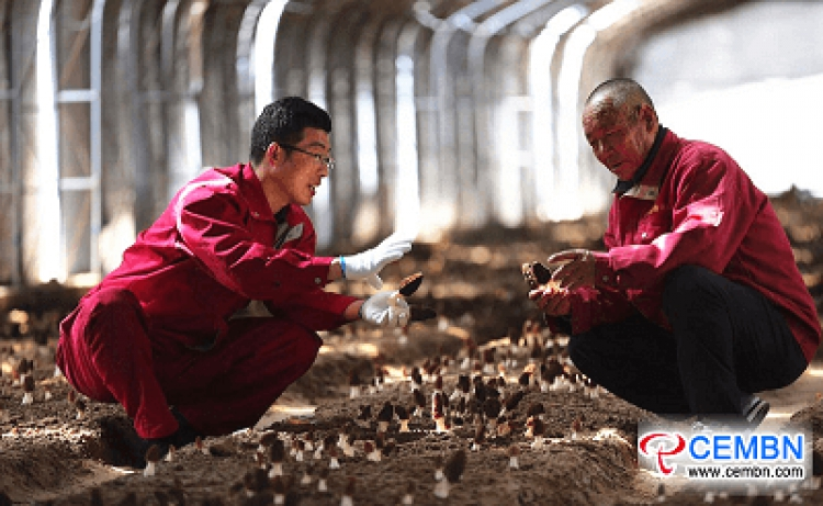 이 협동 조합에서 인위적으로 재배 된 모렐 버섯이 계절에옵니다