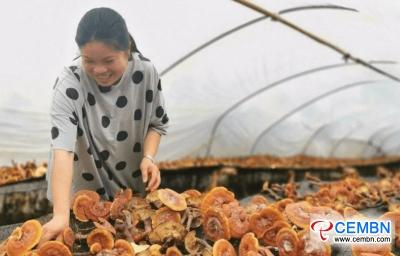 مقاطعة سيتشوان: من خلال زراعة فطر ريشي ، يمكن تحقيق 200,000 CNY من الأرباح في 4 أشهر