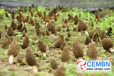 Yunnan Province: Artificially-cultivated Morel mushrooms are in harvest period