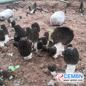 Morel mushrooms cultivated under walnut tree BOOM