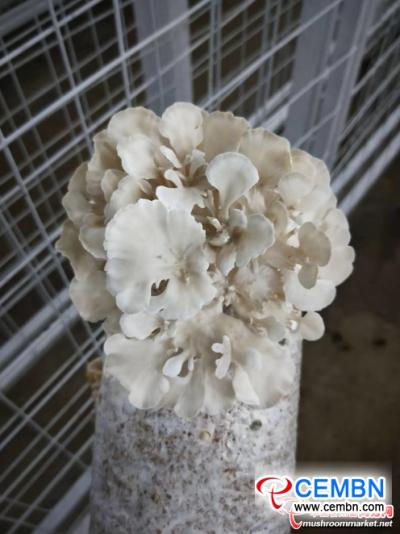 袋中的灰树花(Grifola frondosa)种植成功