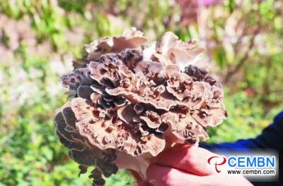 لقد نجحت تجربة Grifola frondosa للزراعة في نمط عديم الرحمة والتقليد البري