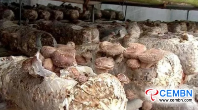 Shiitake mushroom industry predicts 30 million CNY of annual output value in this county