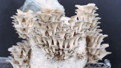 Une nouvelle ferme urbaine apportera des champignons de spécialité aux rayons des magasins au Texas