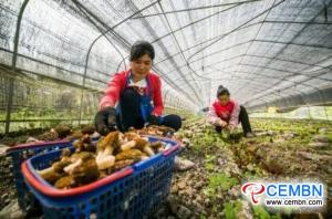 この村では、モレルキノコ栽培の年間生産額が4万元以上に達しています