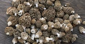Le champignon exotique le plus cher!