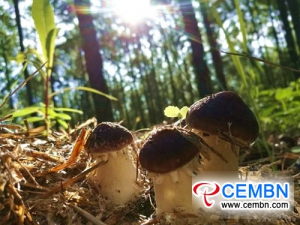 Stropharia rugosoannulata coltivato sotto la foresta ingrassa il portafoglio dei coltivatori