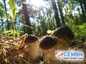 森の下で栽培されたStropharia rugosoannulataは生産者の財布を肥やす