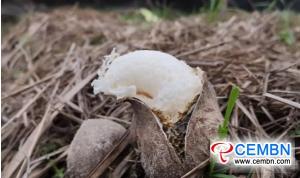 Dictyophora indusiata coarpping: حجم المبيعات السنوي يصل إلى 20 مليون CNY
