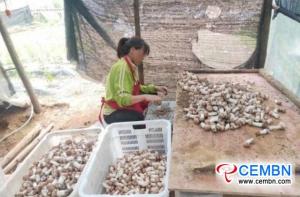 تعمل زراعة Agaricus blazei على تسمين محفظة الأسر الفقيرة