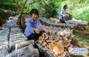 De champignonteelt onder het bos zorgt voor een aanzienlijk inkomen