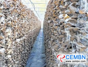 Trial hanging-bag Black fungus cultivation gets fruitful outcomes