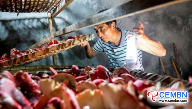 Province du Fujian: les champignons Russula entrent en saison