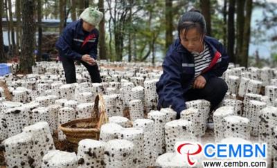 В провинции Гуйчжоу, Китай, в грибной промышленности наблюдается стремительная и энергичная тенденция