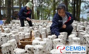 中国贵州省蘑菇产业发展势头迅猛