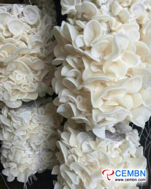 Coopérative de champignons Qiandaohu Yingsang: La saison de commercialisation abondante d'Auricularia nigricans s'installe