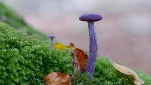 Alien Fungi: Do you dare to eat these violet mushrooms?