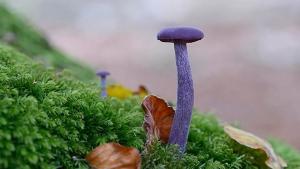 Funghi alieni: hai il coraggio di mangiare questi funghi viola?