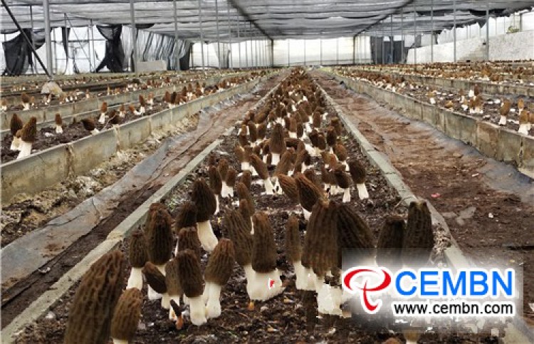 莫瑞尔蘑菇无土栽培基质栽培取得丰硕成果