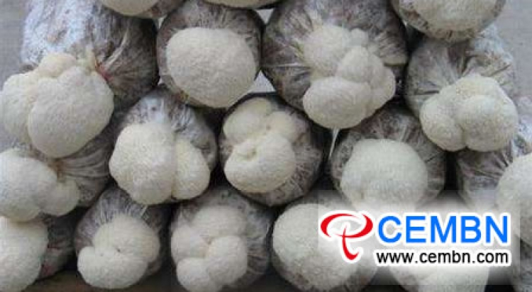 Management kernels during the fruiting phase of Hericium mushroom