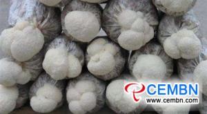 ヘリシウムキノコの結実期における管理穀粒