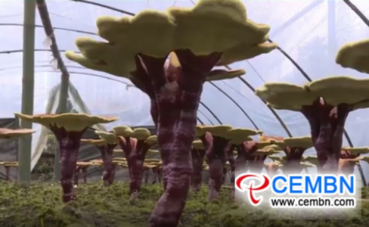 Artificial cultivation of Reishi mushroom yields a better tomorrow