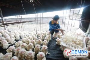 Guizhou Guifu Mushroom Company : 오리 큘라 리아 (Auricularia nigricans)의 수확시기입니다.