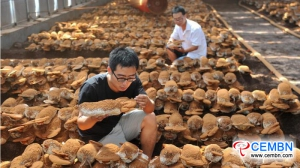利用灵芝蘑菇种植,收获美丽效果