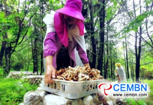 Agrocybe cylindracea المزروعة تحت الغابات فلورش